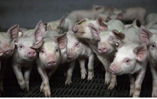 多国贸易反击战已打响 美国猪肉出口下降12%